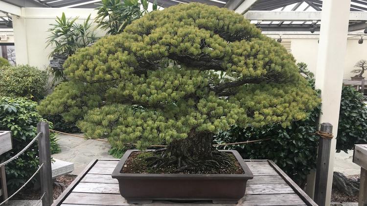 391 godinu staro bonsai drvce preživjelo je nuklearnu bombu u Hirošimi, i još uvijek raste