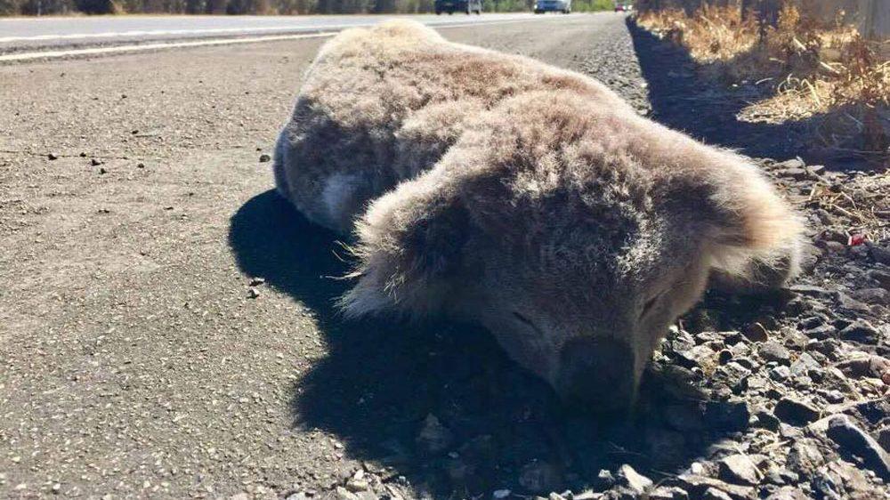 Deforestacija usmrtila 87 milijuna životinja u australskom Novom Južnom Wellsu